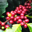 Stock Photo: Coffee beans growing on branch in Chiang Rai,Thailand