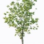 Trees isolated — Stock Photo