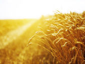wheat field at sunset — Foto Stock