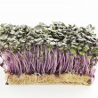Growth purple garden cress isolated on a white background — Stock Photo