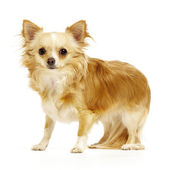 Chihuahua standing on white background — Stock Photo