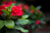 Euphorbia milii young plant on blur background — Stock Photo