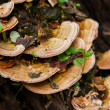Stock Photo: Mushroom (Trametes versicolor) on rotting fallen tree for Cure