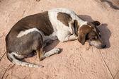 Thai dog relaxing — Stock Photo