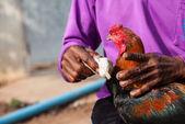 泰国斗鸡 — 图库照片