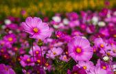 Cosmos flowers garden at jim thomson farm in Nakhon Ratchasima T — Stock Photo