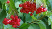 Red rowan — Foto Stock