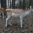 Stock Photo: Deer graze in forest