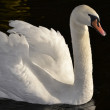 Snow-white swan — Stock Photo