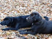 Dog lie on the dry leaves — Stock Photo