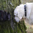 Stock Photo: Two dogs sniffing tree