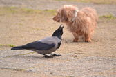 Crow and dog — Stock Photo