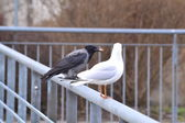 Seagull and crow — 图库照片