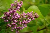 Lilac buds — Photo