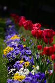 Violets and tulips on the flowerbed — Stock Photo
