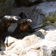 Two seals on the rocks — Stock Photo #47285459