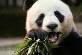 Panda in Chaingmai Zoo, Thailand. — Stock Photo