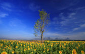 Sunflowers field with Blue sky, Thailand — Stock Photo