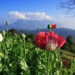 Opium poppy. — Stock Photo
