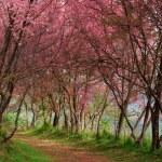 Sakura pink flower in, Thailand, Cherry blossom — Stock Photo