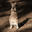 Little Kangaroo Australia native animal — Stock Photo