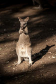 Petit animal natif de kangourou australie — Photo