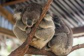 Sleepy koala bear from zoo in Sydney, Australia. — Stock Photo