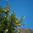 Foto Stock: Orange tree