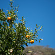 Stock Photo: Orange tree