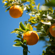 Orange tree — Stock Photo #33131889
