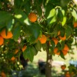 Orange tree — Stock fotografie