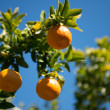 Foto de Stock  : Orange tree