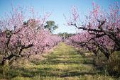 Beautiful cherry blossom in Australia. — Zdjęcie stockowe