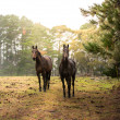 Stock Photo: Horses in farm