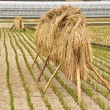 Stock Photo: Group of Straw in farm at Obama, Japan