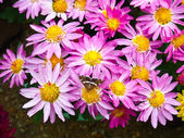 Brown butterfly with Pink Chrysanthemum flower — Stock Photo