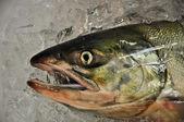Fish' head on ice — Stock Photo