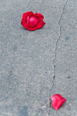 Red rose fade one foliage on cement floor — Stock Photo