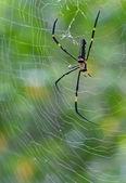 özürlü naphila maculata örümcek web ile — Stok fotoğraf