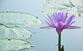 Purple Cape water-lilly in the lagoon — Stock Photo