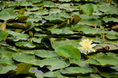 A yellow lotus in the lake — Stock Photo