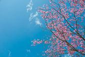 The Wild Himalayan Cherry with blue sky — Stock Photo