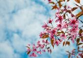Дикие гималайские вишни с голубым небом — Стоковое фото