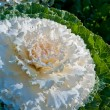 Постер, плакат: The white Flowering Cabbage and Kale or Ornamental Cabbage and K