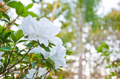 The white Azalea or Rhododendron — Stock Photo