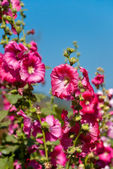 The pink hollyhock in the garden — Stock Photo