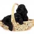 Two cute American Cocker Spaniel puppies, 2 months old. In yellow basket. Isolated on white background. — Stock Photo