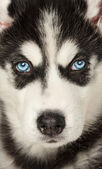 Close up of husky muzzle. Focused between eyes. — Stock Photo