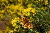 Sarı çiçek güzel kelebeği — Stok fotoğraf