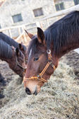 Atlara saman yiyor — Stok fotoğraf